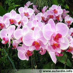 Entretien des Orchidées d'intérieur