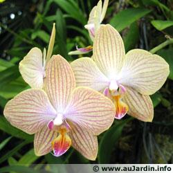 Phalaenopsis 'Copa de oro'