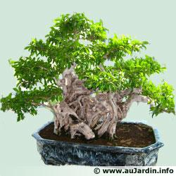 https://static.aujardin.info/img/img7/bonsai.jpg