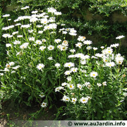 Leucanth�ne, Grande Marguerite, Chrysanthemum maximum