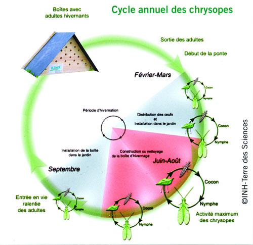 Cycle des chrysope