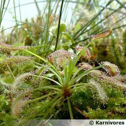 plante carnivore japon