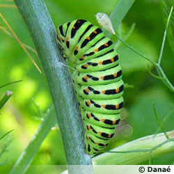 La chenille de Machaon