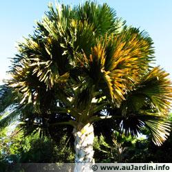 Palmier Talipot