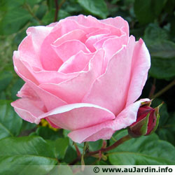 Des vertus des plantes par Macer Floridus, 1832 Rose