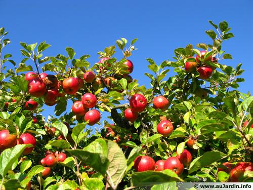 Éclaircissage des arbres fruitiers