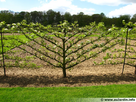 arbres fruitiers en espalier arbre fruitier espalier sur enperdresonlapin. Black Bedroom Furniture Sets. Home Design Ideas