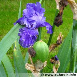 Les iris de jardin novelty, surprenants et originaux