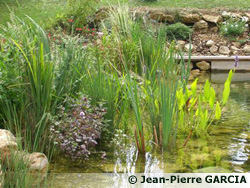 piscine naturelle: plantes épuratrices