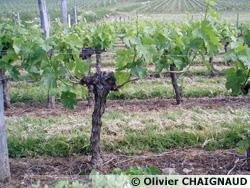 La vigne avant épamprage