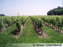 La vigne après levage