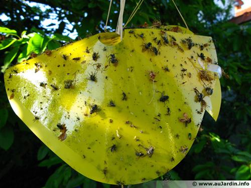Un pi ge contre la mouche de la cerise - Comment se debarrasser de mouches ...