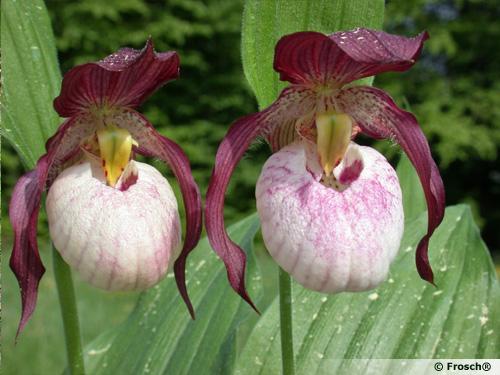 Les sabots de v nus rustiques - Orchidee sabot de venus ...