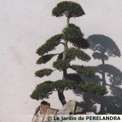 L 39 art de la taille japonaise ou niwaki - Arbuste japonais persistant ...