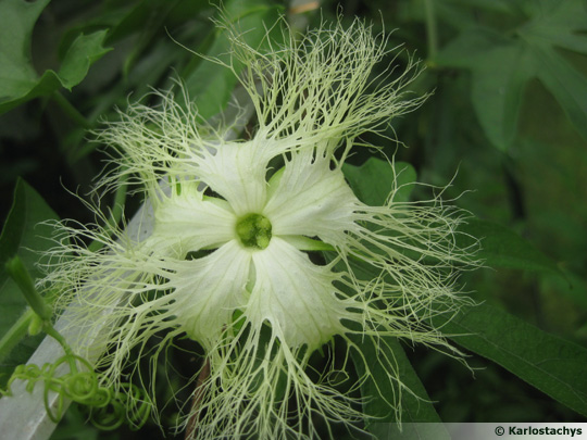 Trichosanthes rosthornii