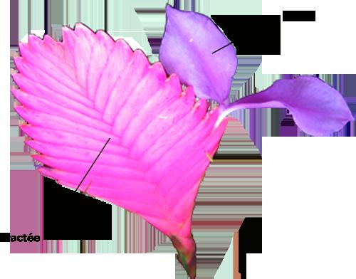 Structure botanique d'une bractée