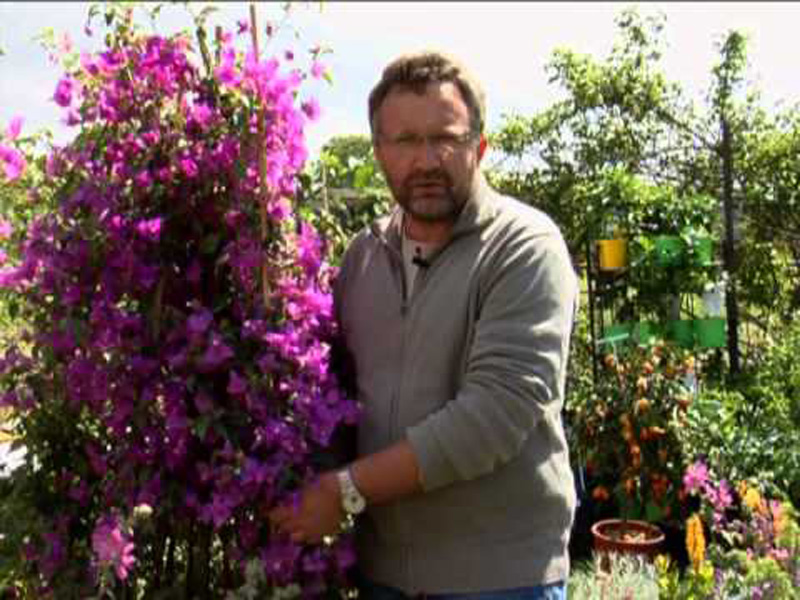 Exceptional arrosage du bougainvillier en pot 6 au for Conseil en jardinage